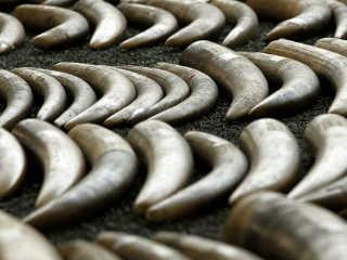 Comércio ilegal de marfim, incluindo em Angola e Moçambique, debatido em Genebra