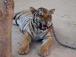Tailandia nega soltar tigres H