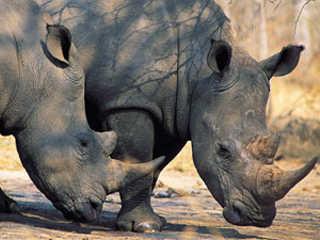 Vietna campanha rinocerontes H