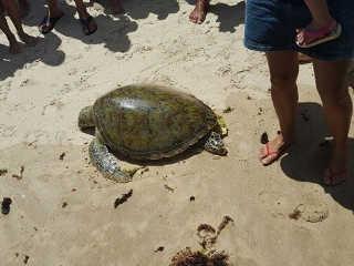 AL Maceio tartaruga morta praia H