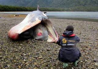Morte de baleias na Patagônia chilena pode ser fenômeno periódico
