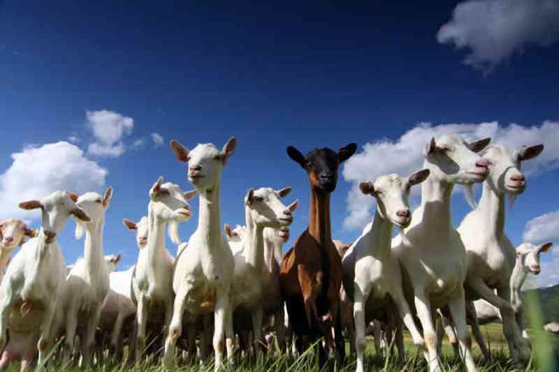 Dinamarca proíbe as carnes Halal e Kosher pois 'os direitos dos animais vem antes da religião'