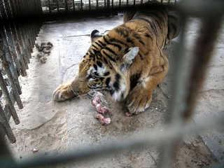 Animais nos zoológicos em Gaza: famintos e à beira da inanição