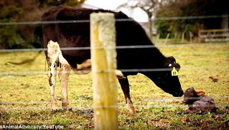 Investigação revela a crueldade que está em um copo de leite