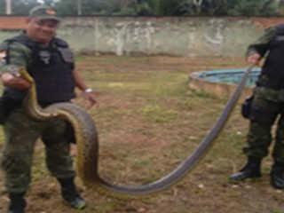 Sucuri de quatro metros é resgatada em uma piscina em Ananindeua (PA)