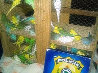 Em RO, homem é preso com 50 periquitos escondidos em porta-malas