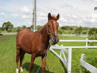 RS Canoas cavalo maltratado adotado H