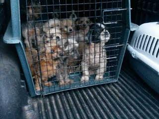Canil clandestino escondia cachorros dentro do guarda-roupa em Jarinu, SP