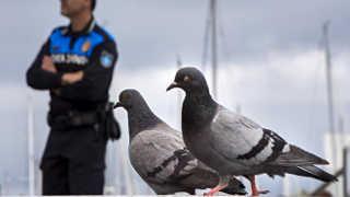 Ativistas denunciam que a Prefeitura de Barcelona continua com a matança de pombos