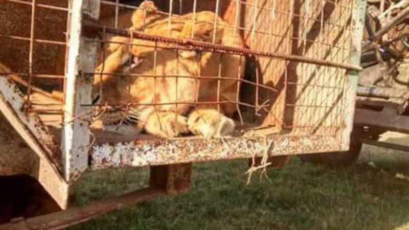 Advogados abolicionistas obtêm permissão para leoa maltratada em circos ser trazida da Argentina