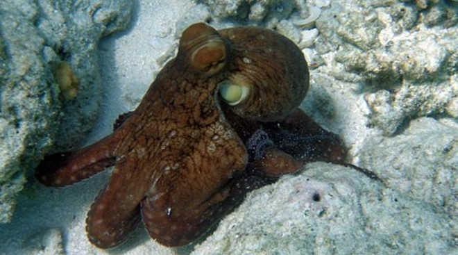 Do aquário ao mar: a incrível fuga de Inky, o polvo