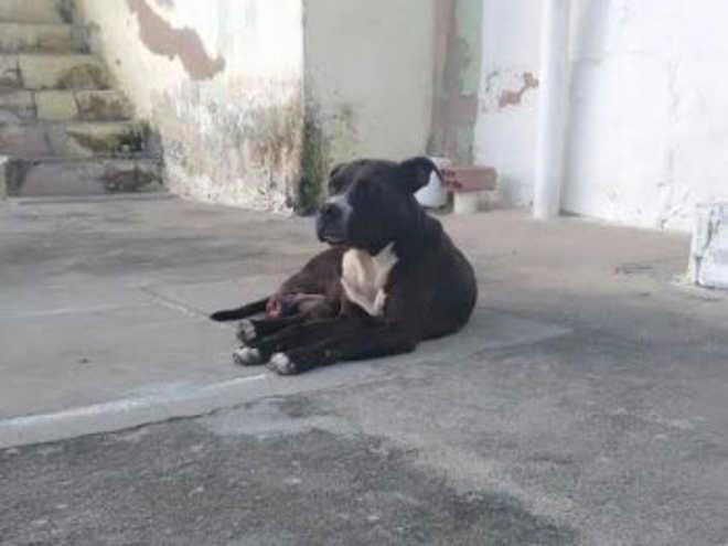 Moradores pedem ajuda para resgatar pitbull solta em Maceió, AL