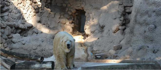 Pedem novamente a retirada do urso polar Arturo de seu cativeiro em zoo Argentino