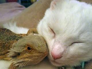 Uma amizade quase improvável entre um gato e um lagarto