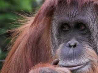 Argentina BuenosAires justica orangotango H