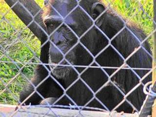 Morre o chimpanzé Toto depois de 37 anos em cativeiro na Argentina