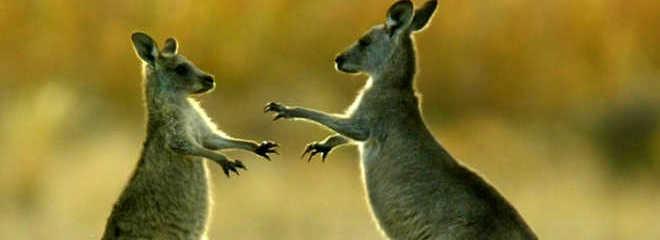 Australia canguruscondenados 1 D