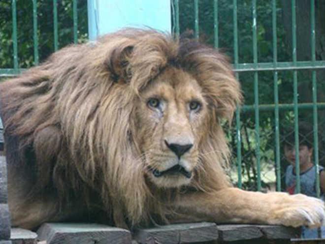 Leão agoniza de fome em zoológico mantido pela Prefeitura em Itapetinga, BA