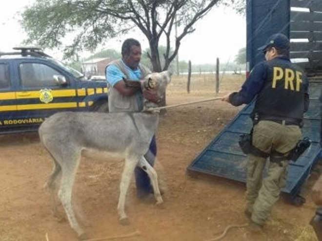 PRF recolhe jegues e cavalos soltos nas rodovias federais da Bahia
