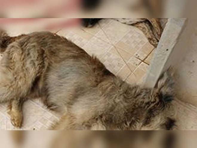 Empresário acusado de matar cães a tiros de espingarda em Varjota (CE) é denunciado pelo Ministério Público