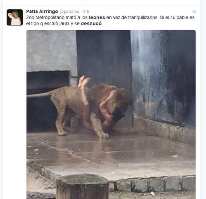 Leões são sacrificados no Chile após homem nu invadir jaula de zoológico