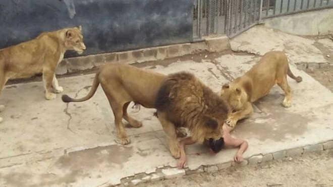 ONG quer fechar o zoo de Santiago após jovem pular em jaula e leões serem mortos