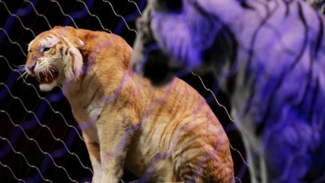 Canada Windsor fim circos animais