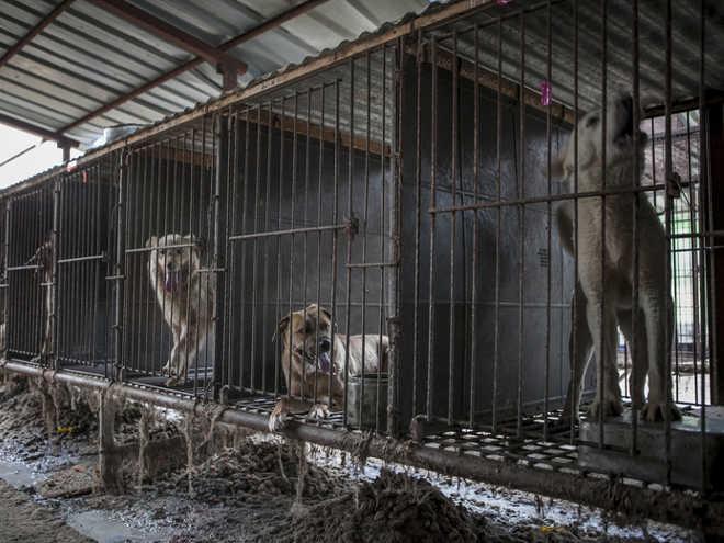 De fazendas de cães na Coréia do Sul para novas vidas no exterior