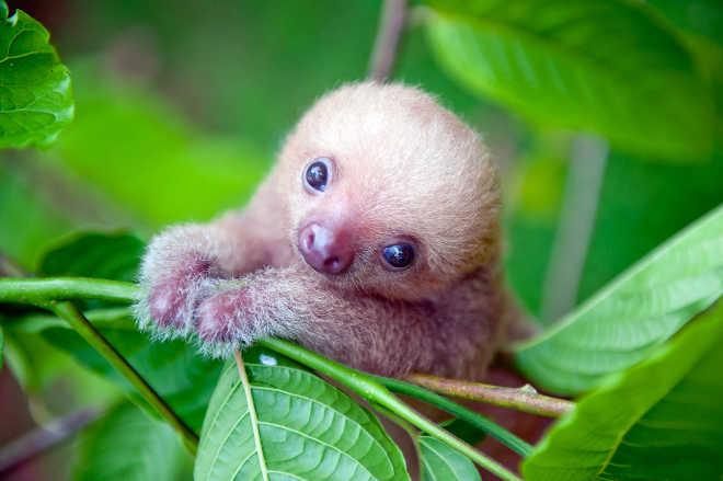 O sorriso das preguiças da Costa Rica