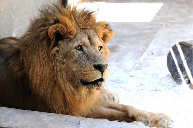 Morre Dengo, o querido e polêmico leão do Zoo de Brasília, DF