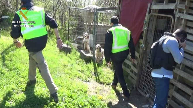 Detido homem que treinava cães para rinhas na Espanha