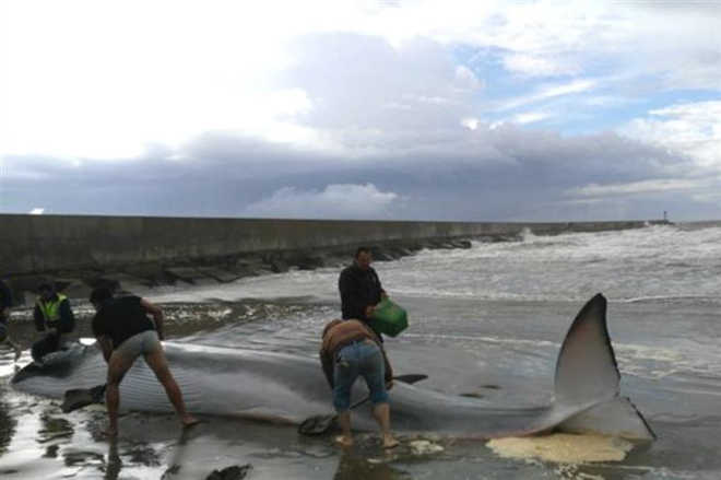 Dezenas juntaram-se para salvar filhote de baleia encalhado na Espanha