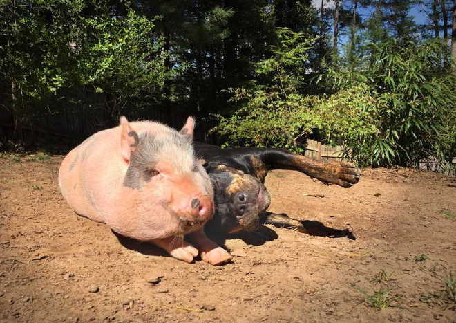 EUA CarolinaDoNorte porco apaixonado cachorro