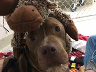 Cão resgatado de rinha é mantido agora como um bebezão