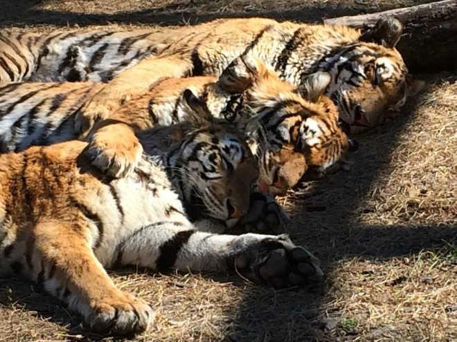 Tigres irmãos são tão unidos que não podem dormir um sem o outro; vídeos