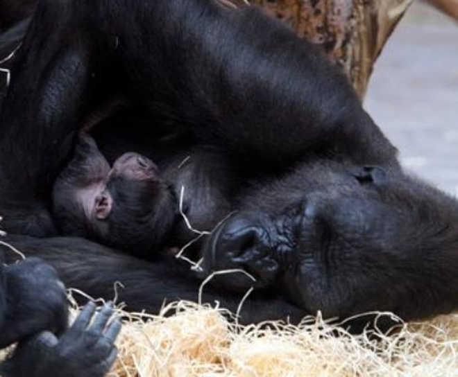 EUA cincinnati gorila crianca zoo 800