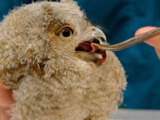 Bebê coruja é resgatado após cair do ninho na Filadélfia, EUA
