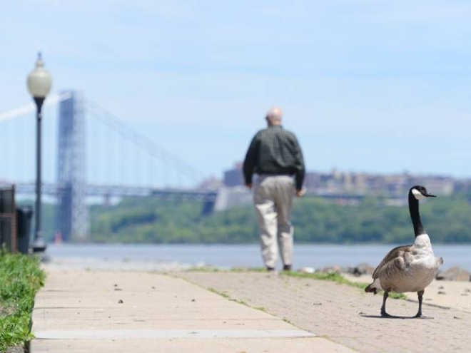 EUA edgewater geese 2