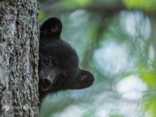 EUA filhote orfao urso H