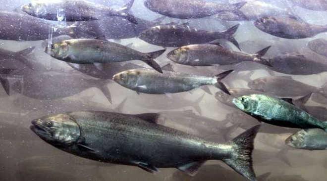 47 leões-marinhos mortos por agentes da vida selvagem este ano em represa nos EUA