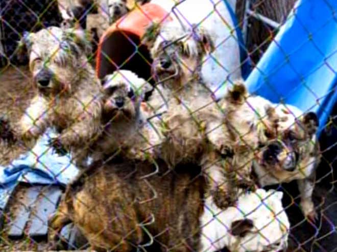Quatro membros da mesma família são sentenciados por operarem fábrica de filhotes nos EUA