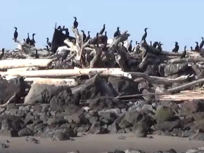 Ativistas divulgam vídeo com agentes federais abatendo aves marinhas nos EUA