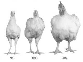 Suas escolhas alimentares têm feito os frangos dobrarem de tamanho nos últimos 50 anos