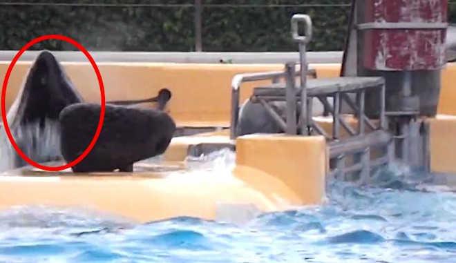 Novo vídeo mostra orca do SeaWorld batendo contra portão repetidamente