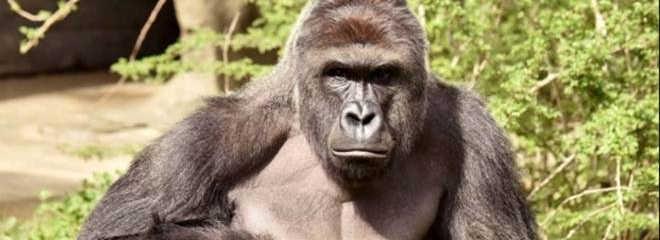 Execução de gorila para salvar menino gera críticas a zoológico nos EUA
