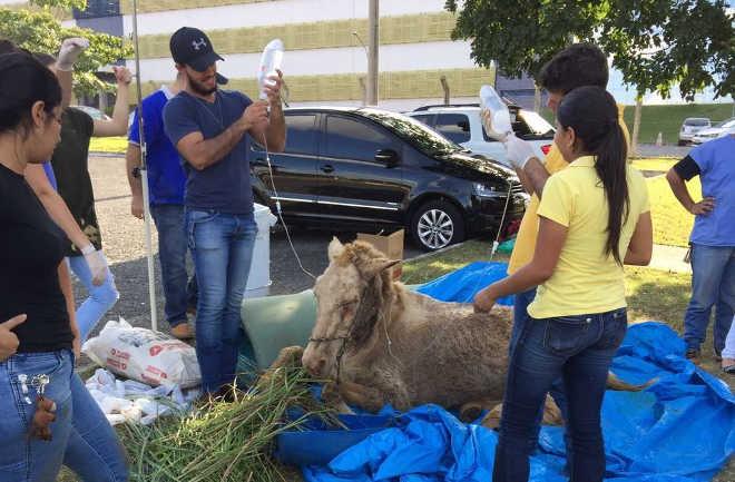 Morre cavalo resgatado por estudantes de veterinária de situação de maus-tratos em Goiânia, GO