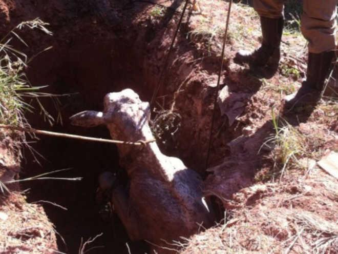Vaca é resgatada pelos bombeiros após cair dentro de fossa, em Goiânia, GO