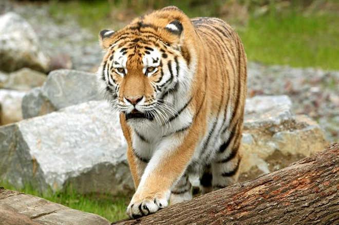 Polícia procura dois tigres em fuga