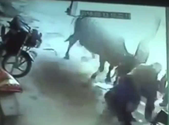 Vaca ataca pai e tio que esfaqueavam menina na Índia; vídeo