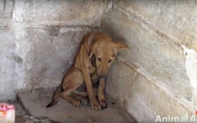 Esse cachorrinho foi encontrado ferido e encolhido em um templo… mas uma coisa incrível aconteceu